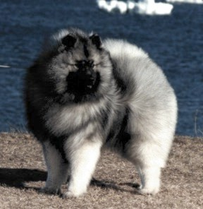 Klompen Keeshonden - What is a Keeshond? - FAQ